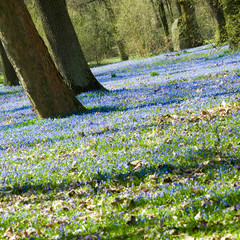 Frühlingserwachen, Scilla-Blüte, Frühlingsblumen
