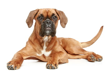 Wall Mural - German Boxer (5 month) lying on a white background