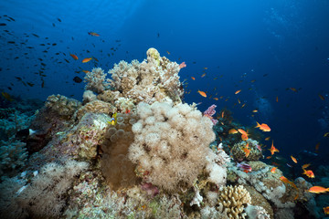 Anemone and anemonefish in the Red Sea.