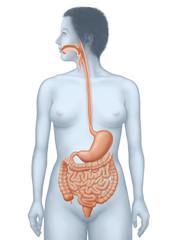 Verdaung - Weg der Speise, Organe
