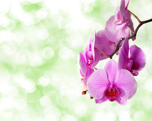 pink orchid on defocused  green background
