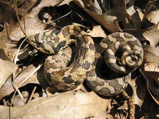Baby Hognose Snake