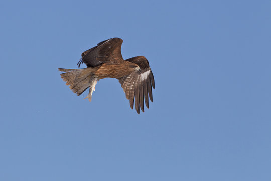 Kite Hunting For Food