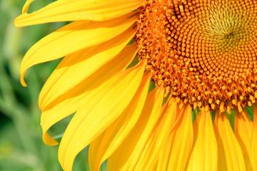 Sunflower macro.