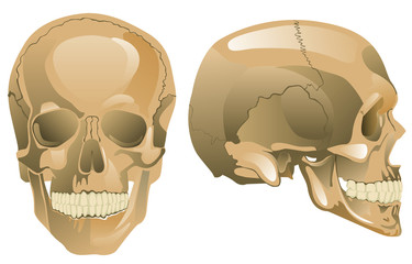 Human skull (a face-to-face kind, a half-face)