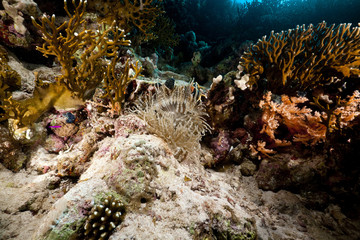 Leathery anemone and tropical underwater life in the Red Sea.