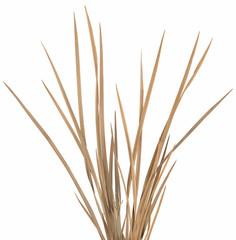 Ornamental Grass 1