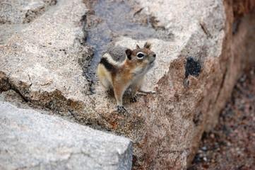Chipmunk poses on boulder
