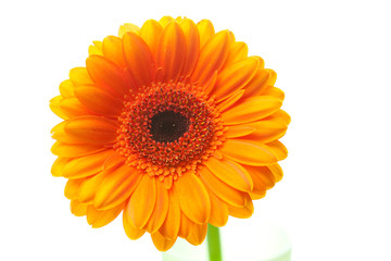 an orange gerbera flower isolated on white
