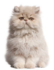 Fototapete - Young Persian cat sitting in front of white background