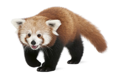 Wall Mural - young Red panda or Shining cat, Ailurus fulgens, 7 months old