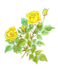 drawing of beautiful branch of yellow roses