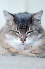 portrait of cute gray cat