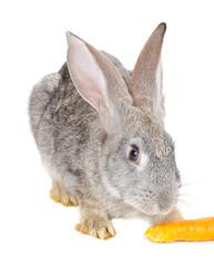 gray rabbit eating carrot