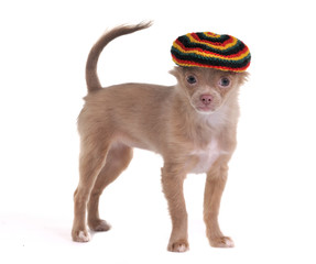 Funny chihuahua puppy with rastafarian hat standing isolated