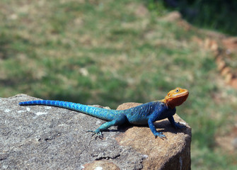 Coloured agama lizard in national park Tsavo Kenya