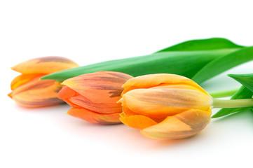 drei tulpen,liegend,freigestellt,querformat