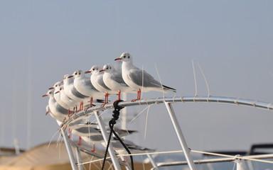 mouettes alignés sur le pont d'un yacht - côte d'azur liberté