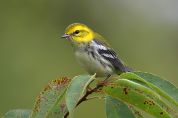 Fotoväggar - Black-throated Green Warbler