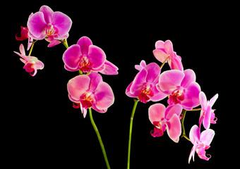 Flower  pink orchid -  phalaenopsis