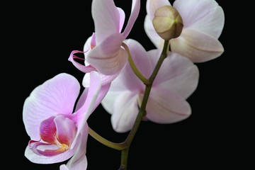 Orchid flower detail