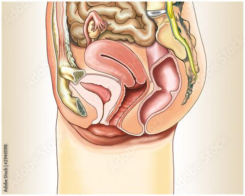 weibliche Geschlechtsorgane im Querschnitt\