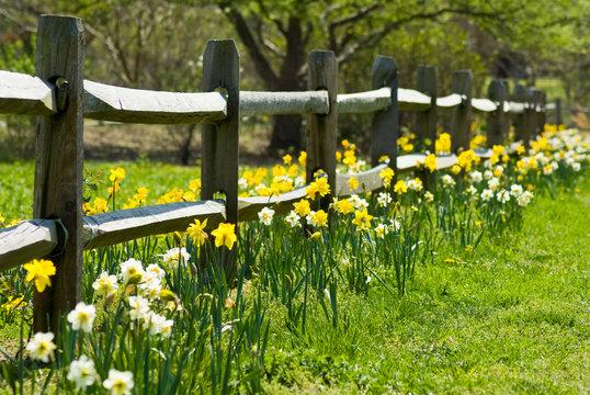 Daffodil Garden