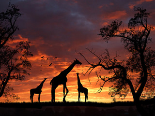 Giraffes on sunset