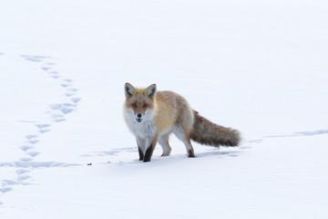 Fox Walking Across the Snow