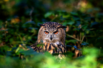 Fototapete - An Eagle Owl in woodland