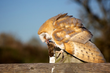 Fototapete - A barn owl eating a mouse sitting on a fence