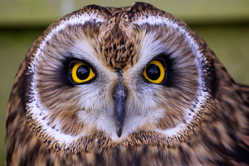 Fototapete - Close portrait of a short eared owl