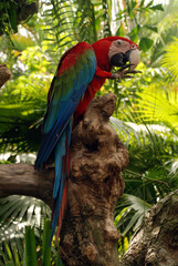 Parrot (Green wings macaw)