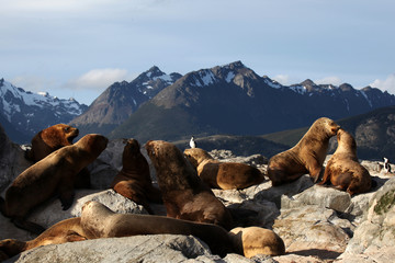 Beagle Channel Sea Lions