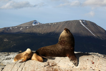Bull Sea Lion in the Beagle channel