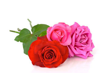 Roses over white background