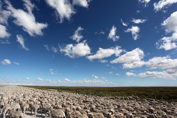 Flock of sheep in Tierra del Fuego