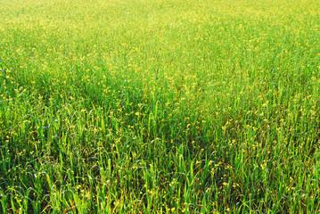 field , meadow