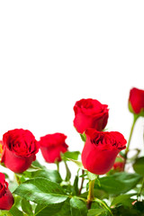 Flowers - red roses on white background