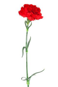 carnation close-up