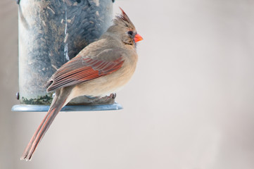 Female cardinal sits on the bird feeder