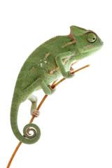 Baby chameleon posing in light tent, macro focused on eyes