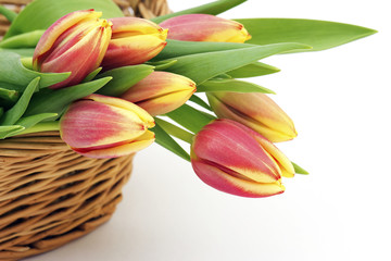 fresh tulips in a basket on white background
