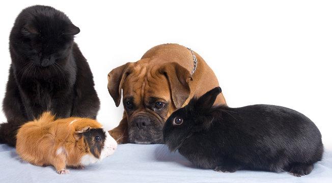 chien, chat, lapin, cochon d'inde ensemble