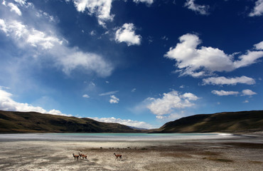 Guanacos and salt lake