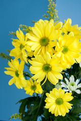 Beautiful yellow flowers isolated on blue