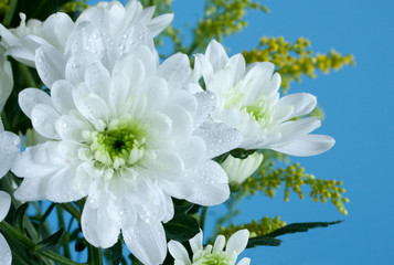 Beautiful white flowers isolated on blue