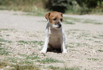 young terrier