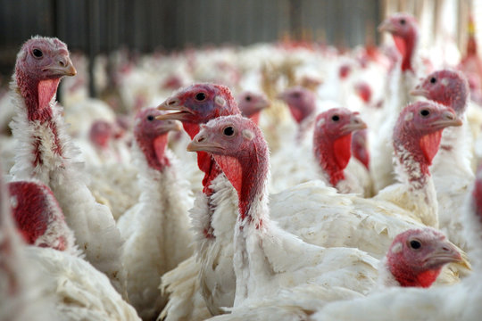 Flock of Turkeys