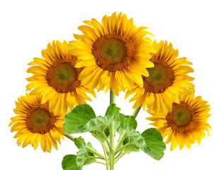The beautiful sunflower